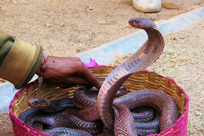 Kobry w Indiach