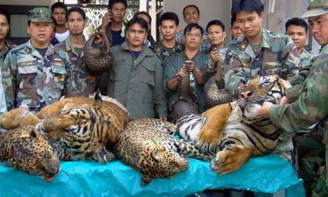 Pieniądze za cenę krytycznie zagrozonego gatunku. Tajski rząd robi stanowczo za mało.