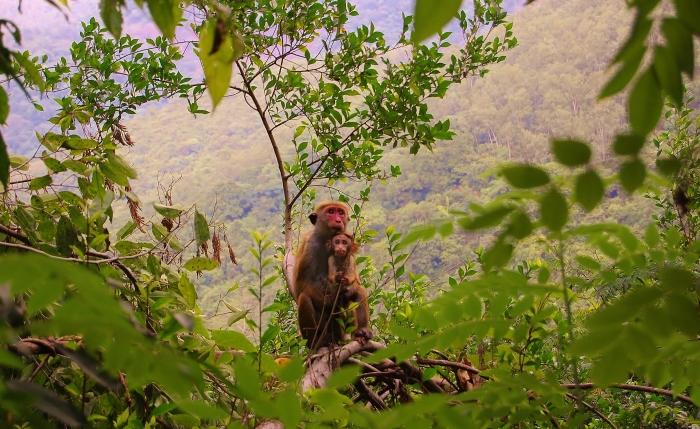 """Ładne małpki ale noszą koszulek z napisem """"mam wściekliznę"""". Radzę unikać zwierząt i nie wchodzić z jedzeniem, a zwłaszcza z bananami na teren gdzie żyją kolonie małp. W swojej podróżniczej karierze odbyłem z nimi kilka walk i muszę przyznać że są skłonne walczyć na śmierć i życie o skórkę od banana i mogą przenosić wściekliznę. (Sri Lanka)."""