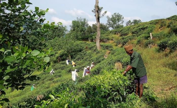 Pola herbaciane na Sri Lance.