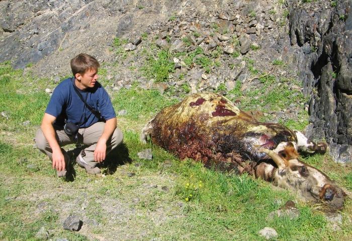 Dla tej krowy jest już za późno lecz wy ciągle macie szansę jeśli będziecie dbać o swoje zdrowie, (Wąwóz Sępów, Mongolia).