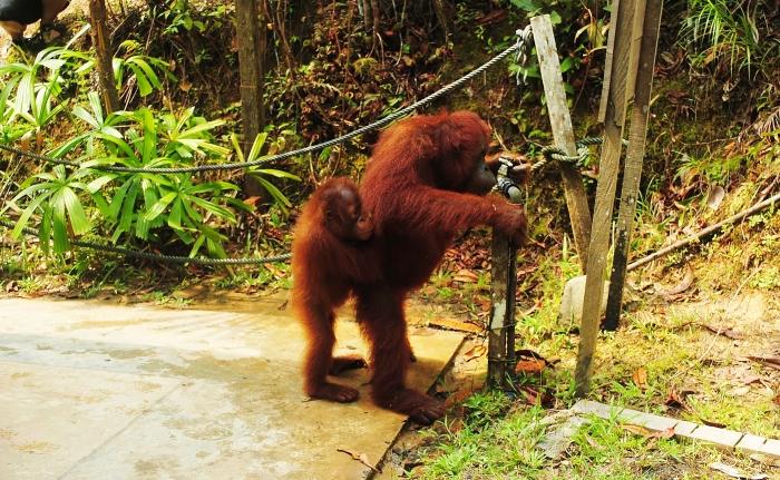 Orangutan Semenggoh Borneo.