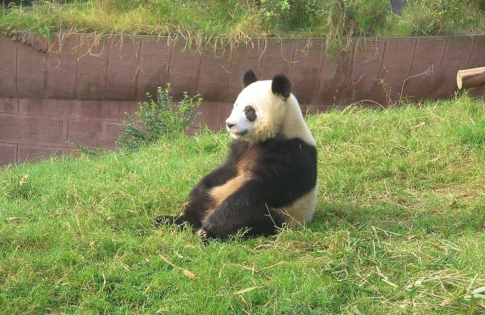 Panda w ośrodku w Chengdu.