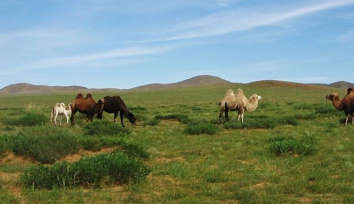 Mongolia, pustyinia Gobi.