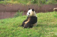 Chiny - panda.