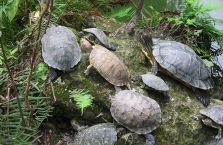 Chiny - żółwie ziemno wodne.
