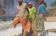 Indie - ludzie w fabryce imbiru.