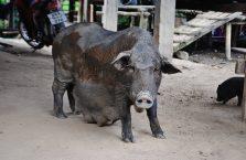 Tajlandia - świnia w wiosce na północy.