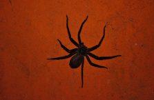 Kambodża - wielki pająk.