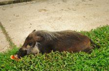 Malezja - dzika świnia.