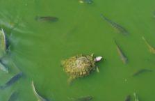 Birma - żółw ziemno wodny.