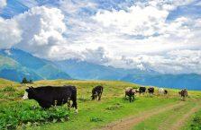 Gruzja - krowy w górach.