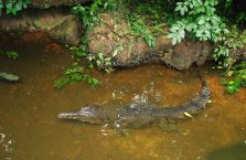Singapur - krokodyl.