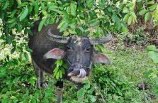 Laos - bawół podczas śniadania.
