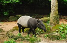 Singapur - tapir.