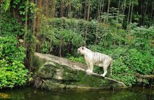 Singapur - biały tygrys.