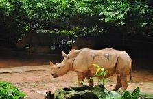 Singapur - nosorożec.