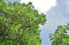Brunei - wąż mangrowy na drzewie.