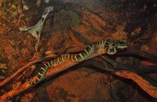 Malezja - wąż mangrowy.