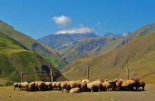 Azerbejdżan - owce na pastwisku.