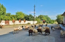 Górski Karabach - owce na ulicy.