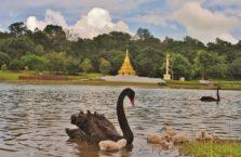 Birma - czatny łąbędź z młodymi.