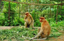 Malezja - małpy długonose.