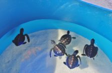 Malezja - żółwie morskie.