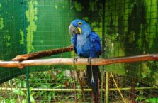 Malezja - papuga ara hiacyntowa.