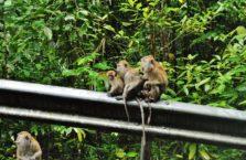 Malezja - małpy.
