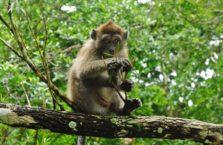 Malezja - małpa.