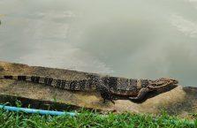 Tajlandia - waran poruszający się wolno w zoo w Bangkoku.