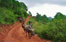 Birma - bawoły.