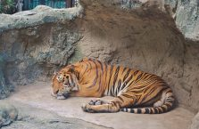 Tajlandia - śpiący lecz czujny tygrys.