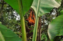 Malezja - orangutan.