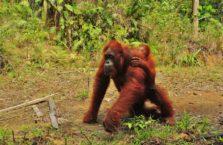 Malezja - orangutany.