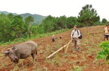 Birma - z bawołem orzącym pole.