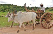Birma - krowi zaprzęg.