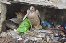 Liban - biedny pelikan na stercie śmieci.
