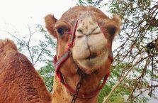 Jordania - wielbłąd.