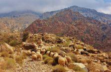 Jordania - owce w górach.