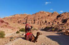 Jordania (Petra) - wielbłądy.