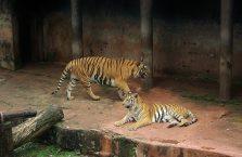 Sri Lanka -tygrysy w zoo Dehiwala.