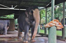 Sri Lanka - słoń w zoo Dehiwala.
