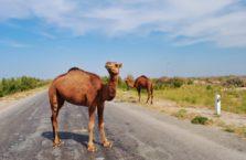 Uzbekistan - dzikie wielbłądy na drodze.