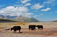 Kirgistan - jaki na Trasie Pamirskiej.