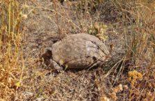 Turcja - żółw stepowy.