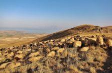 Turcja - barany w górach.