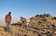 Turcja - pasterz baranów ze swoim osłem.