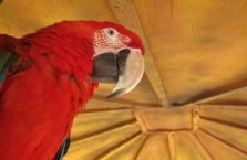 Irak (Kurdystan) - papuga ara w zoo w Dohuk.